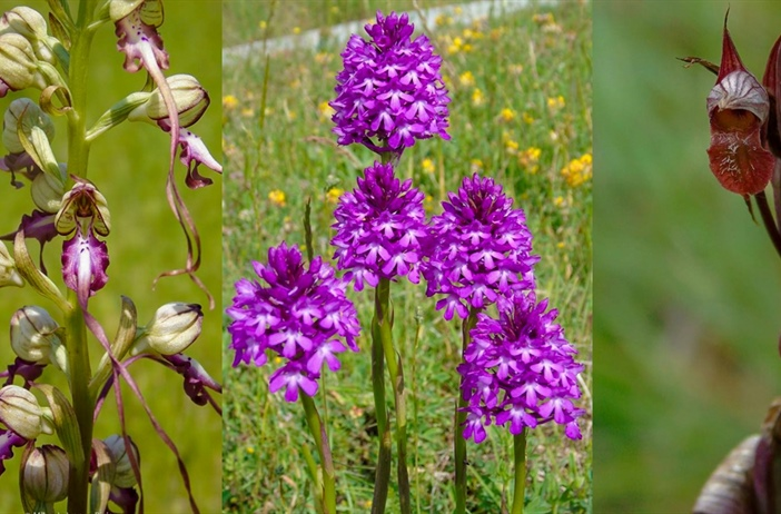 The wonderful orchids of Greece!